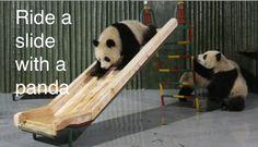 because I am secretly a panda