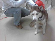 #TEXAS #URGENT ~ Whisky ID A396513 is a Neutered 2yo Siberian Husky in need of a loving #adopter / #rescue at HARRIS COUNTY PUBLIC HEALTH & ENVIRONMENTAL SERVICES  612 Canino Rd  #Houston TX 77076  Ph 281-999-3191