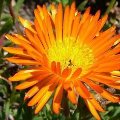Ice Plant (Dorotheanthus Bellidiformis Gelato Orange) - Orange Ice Plant ground cover can be started easily and quickly with Ice Plant seed. The bright colored daisies of Ice Plant are typically 1 1/2