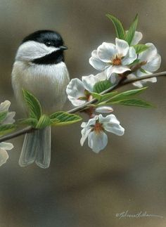 Blossom Perch - Chickadee, x watercolor on board. Maybe I'll do my own crabapple flowers with chickadee Small Birds, Little Birds, Colorful Birds, Pretty Birds, Beautiful Birds, Bird Illustration, Watercolor Bird, Watercolour Painting, Bird Pictures