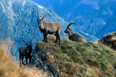 Aktivitäten im Hotel: Kurse und Workshops Animals, Mountain Climbing, Wild Animals, Alps, Hiking, Animales, Animaux, Animal, Animais