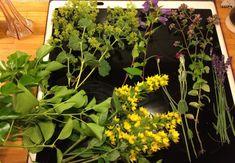 Samlar information för att färga ullgarn med växter