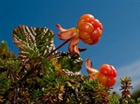 Finnish Cloudberries.
