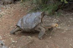 Diego teve cerca de 800 filhotes e ajudou a recuperar a população de tartarugas…