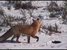 ▶ Yellowstone National Park: Winter Animal Adaptations - YouTube
