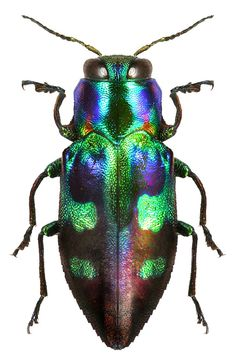 Image result for colorful beetle