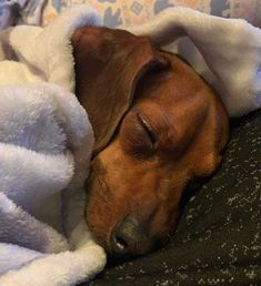 Funny Dachshund, Dachshund Puppies, Dachshund Love, Dogs And Puppies, Weiner Dogs, Doggies, Cute Baby Animals, Animals And Pets, Miniature Dachshunds