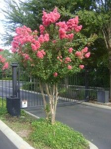 to Crepe Myrtle Care. Wonder how to select, plant, and care for these fabulous trees? We give you all the answers.Beginner's Guide to Crepe Myrtle Care. Wonder how to select, plant, and care for these fabulous trees? We give you all the answers. Plants, Crepe Myrtle, Garden Trees, Trees To Plant, Outdoor Gardens, Flowering Trees, Crepe Myrtle Trees, Myrtle Tree, Outside Plants