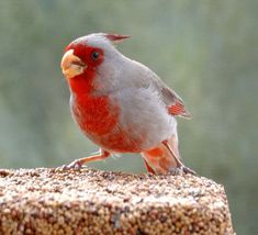 Image result for pyrrhuloxia