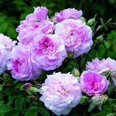 Rosemoor™ - David Austin® English Roses - Heirloom Roses