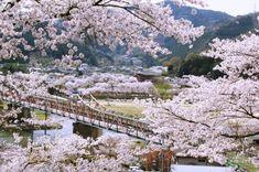 【京都・お花見】大人にオススメ!川辺の花見スポット5選 eltha(エルザ)