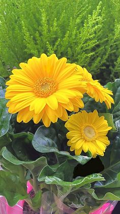 Blossom Garden - Paradise of Flowers! Sunflowers And Daisies, All Flowers, Flowers Nature, Exotic Flowers, Amazing Flowers, Yellow Flowers, Colorful Flowers, Beautiful Flowers, Gerbera Daisies