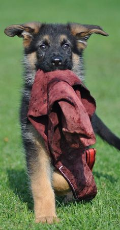 """GSD - I think I'd have to name this pup """"747,"""" for his airplane ears."""