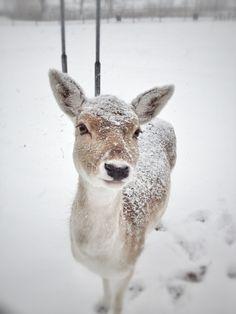 Winter covered deer  #CDNGetaway!