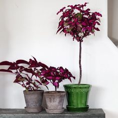 Container Flowers, Container Plants, Coleus, Home Flowers, Hanging Baskets, Growing Plants, Topiary, Houseplants, Home Deco