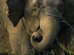 Asian Elephant Eating    Photograph by Tim Laman