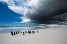 キングペンギン(英領フォークランド諸島)