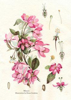 Blossom Apple Tree. Watercolor Botanical Illustration. by Limkina