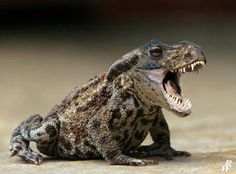 Bufo terribilis by on DeviantArt – funny photoshop Fat Animals, Funny Animals, Photoshopped Animals, Animal Mashups, Myths & Monsters, Images Gif, Creature Design, Mythical Creatures, Animal Pictures