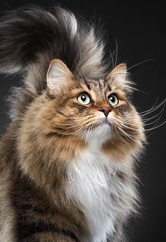 Crazy Cat Lady, Crazy Cats, Animals Images, Cute Animals, Cat Stretching, Exotic Cats, Siberian Cat, Raining Cats And Dogs, Fluffy Cat