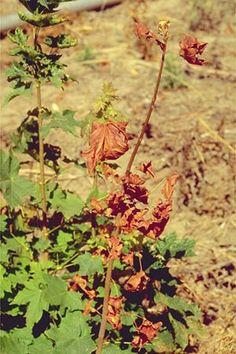 Verticillium wilt. PATHOGENS: Verticillium dahliae and Verticillium albo-atrum HOSTS: Over 400 plant species including herbaceous annuals (ex. –potato), perennials (ex. –peppermint), and woody species (ex. –maple). This list is expanding with the addition of new hosts succumbing to the pathogen.