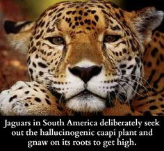 My patronus is a jaguar @Margaux Neal