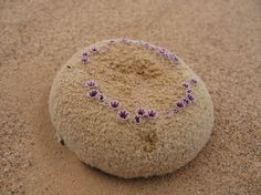 Pholisma sonorae, commonly known as Sandfood, is a rare and unusual species of flowering plant endemic to the Sonoran Deserts