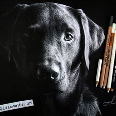 Black Labrador Retriever Animal Drawings using Colored Pencils. By Liran Vardiel.