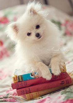 Animal Gato, Mundo Animal, Cute Little Animals, Little Dogs, Spitz Pomeranian, Pomeranians, Cute Puppies, Dogs And Puppies, Adorable Dogs