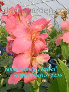 Full size picture of Canna 'Candy Festival' (<i>Canna x generalis</i>)