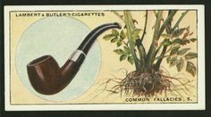 Briar pipes are made from the roots of the Sweetbriar. From New York Public Library Digital Collections.