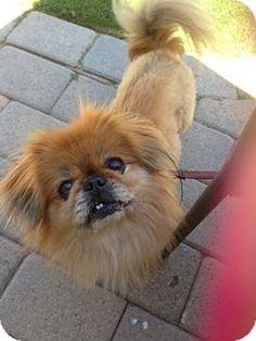 Tilly Pekingese Dog | San Clemente CA