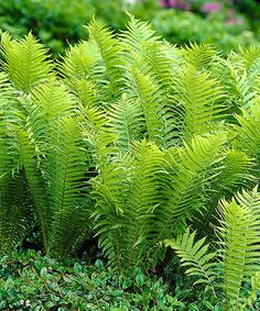 This Tennessee Ostrich Fern Bareroot - Set of Three is perfect! #zulilyfinds