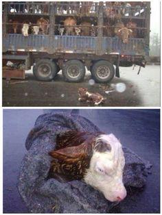 Calf born on the way to slaughterhouse. So very sad. Please don't eat meat. #vegan #vegetarian
