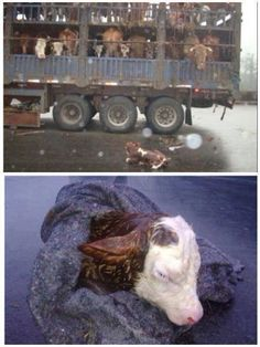 Calf born on the way to slaughterhouse. So very sad. Please don't eat meat. #vegan #vegetarian