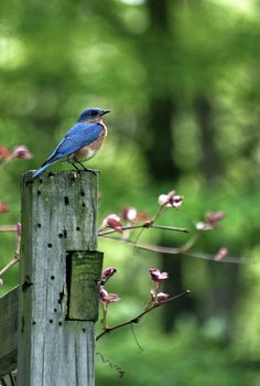 Bluebird on garden duty...