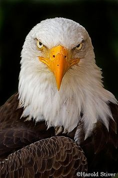 american eagle animals desktop wallpapers download animals hd
