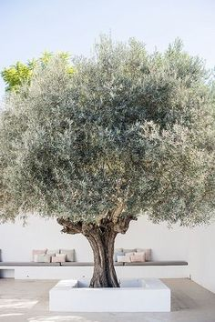 This olive tree makes a stunning focal point on this terrace which was probably built around it.: