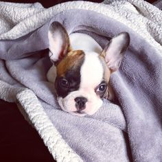 Rescue Adoption Available Dogs French Bulldog Dogs Animals