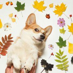 #corgi #welshcorgi #corgistagram #corgis_of_instagram #instadog #instacorgi #dogstagram #dog #корги #вельшкорги #вельшкоргипемброк #insta_dogs #corgicommunityrus #bestwoof #фотопетшопру #PoshPamperedPets #осень #листва