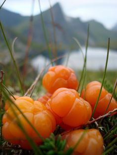 Rubus chamaemorus - the Arctic cloudberry.  This is what the North tastes like.
