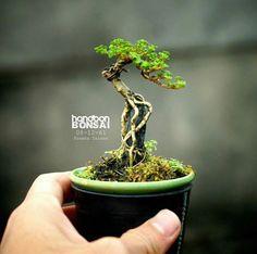 BON SAI ĐẸP #BonzaiTree Jade Bonsai, Juniper Bonsai, Bonsai Art, Bonsai Plants, Bonsai Garden, Bonsai Tree Types, Indoor Bonsai Tree, Mini Bonsai, Bonsai Forest