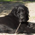 What Is A Labrador Leaver???  John Kelly can still remember how he first met his black  Labrado ..  http://www.dogisto.com/what-is-a-labrador-leaver/