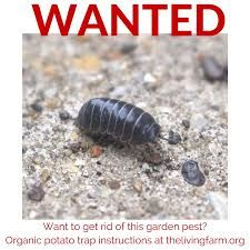 Image Result For What Do Pill Bugs Need To Survive Pill Bug Bug