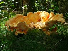 """""""Chicken of the Woods, the dunes in Drunen, Holland"""