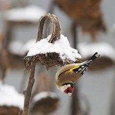 Aidez plusieurs espèces d'oiseaux en semant et/ou en laissant pousser des fleurs dans votre jardin qui leur fourniront des graines en automne et en hiver.