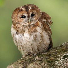 Tawny owl singing greeting card- RSPB