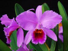 "Cattleya percivaliana 'Alberts' | One of the best ""old"" clon… | Flickr"