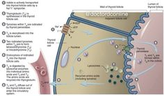 """doctordconline: """" Thyroid Hormone Synthesis The first step in the synthesis of thyroid hormones is the organification of iodine. Iodide is taken up, converted to iodine, and then condensed onto tyrosine residues which reside along the polypeptide..."""