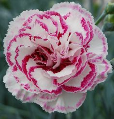Great Flower Supply Expert Services Available Online Perennial Dianthus 'Gran's Favorite' Sweet William Flowers, Farm Nursery, Hardy Perennials, Evening Primrose, Rare Plants, White Flowers, Tin Flowers, Carnations, Amazing Flowers